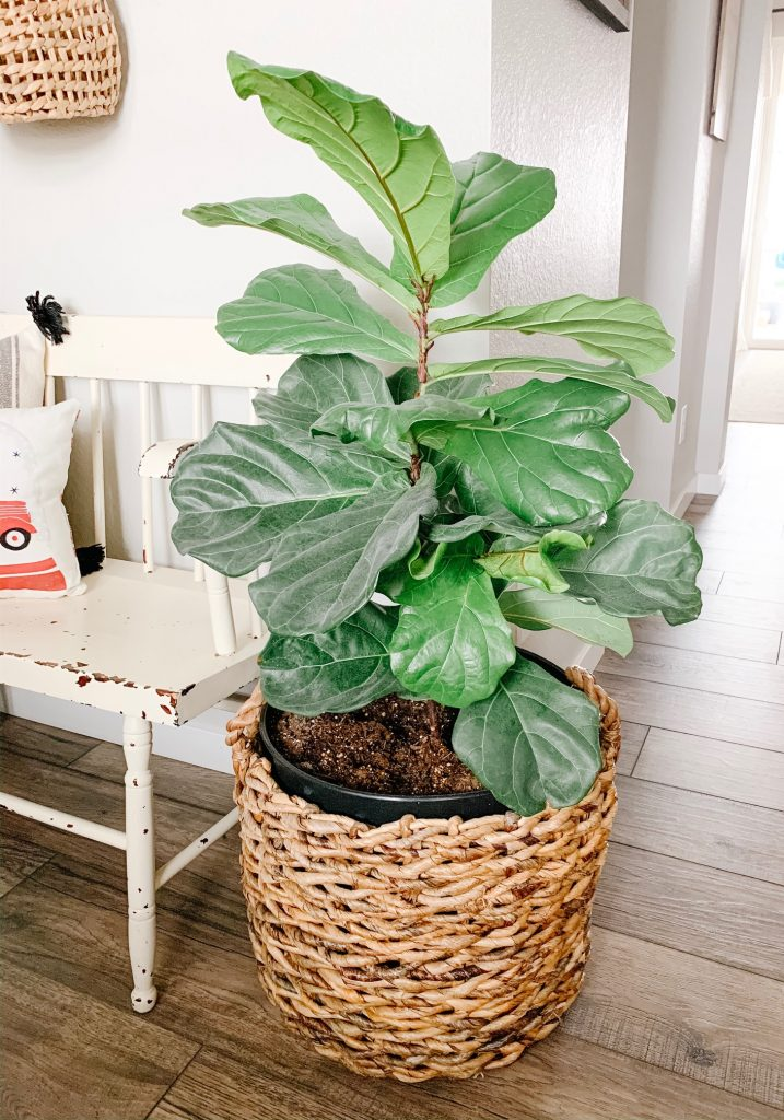 Fiddle leaf fig plant in a basket by a bench in the entryway of a home.