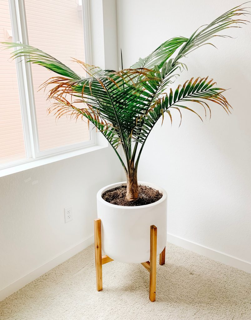 Majesty Palm plant in a large white pot by a window.