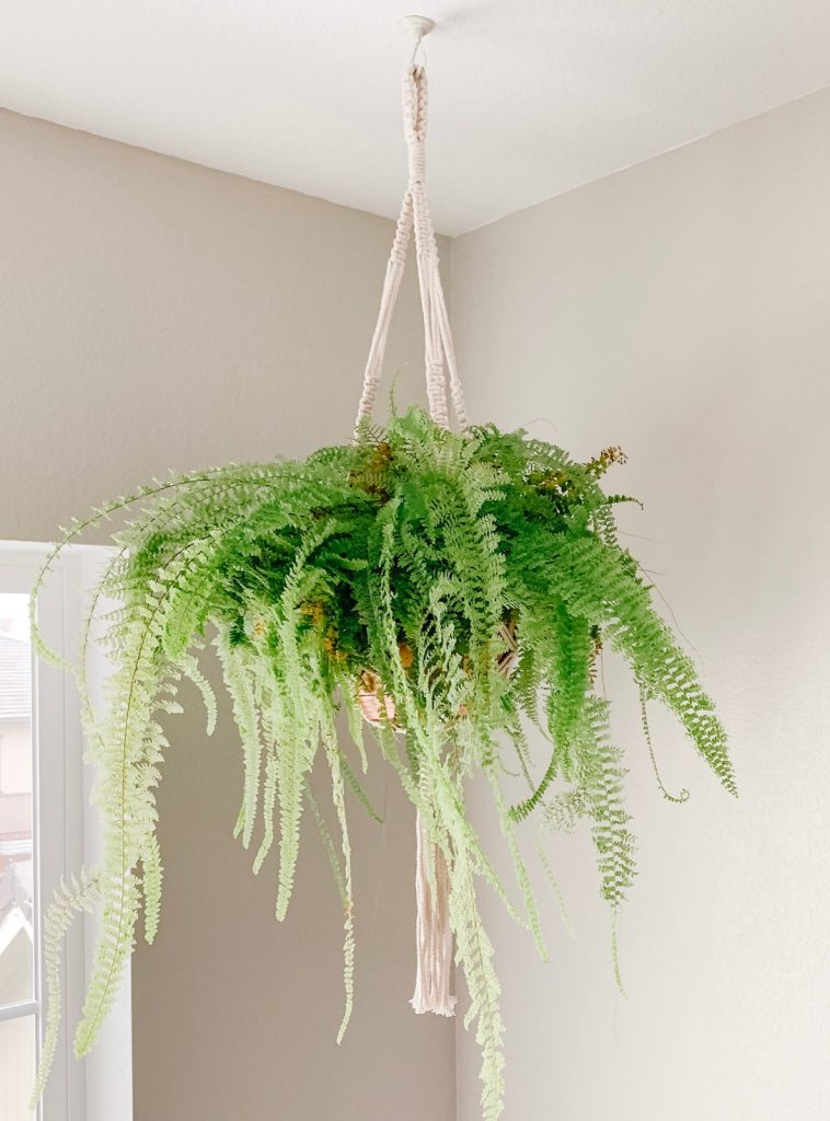 Boston Fern hanging from ceiling.