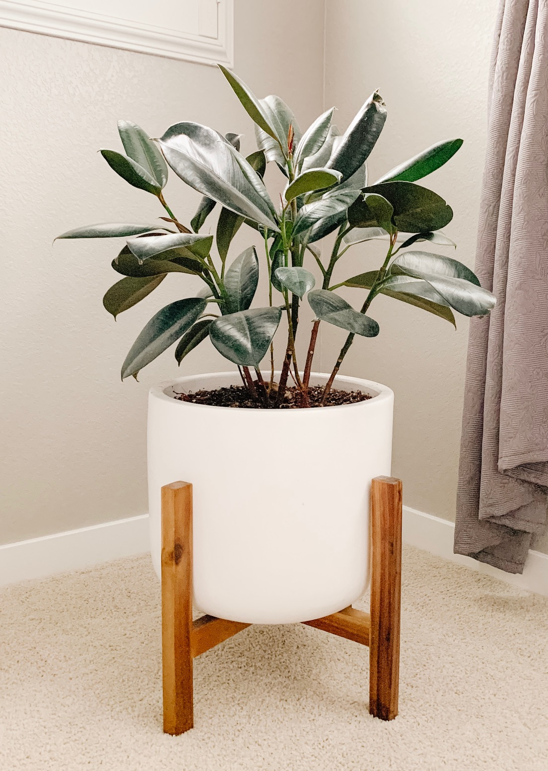 rubber tree in a boho and farmhouse planter