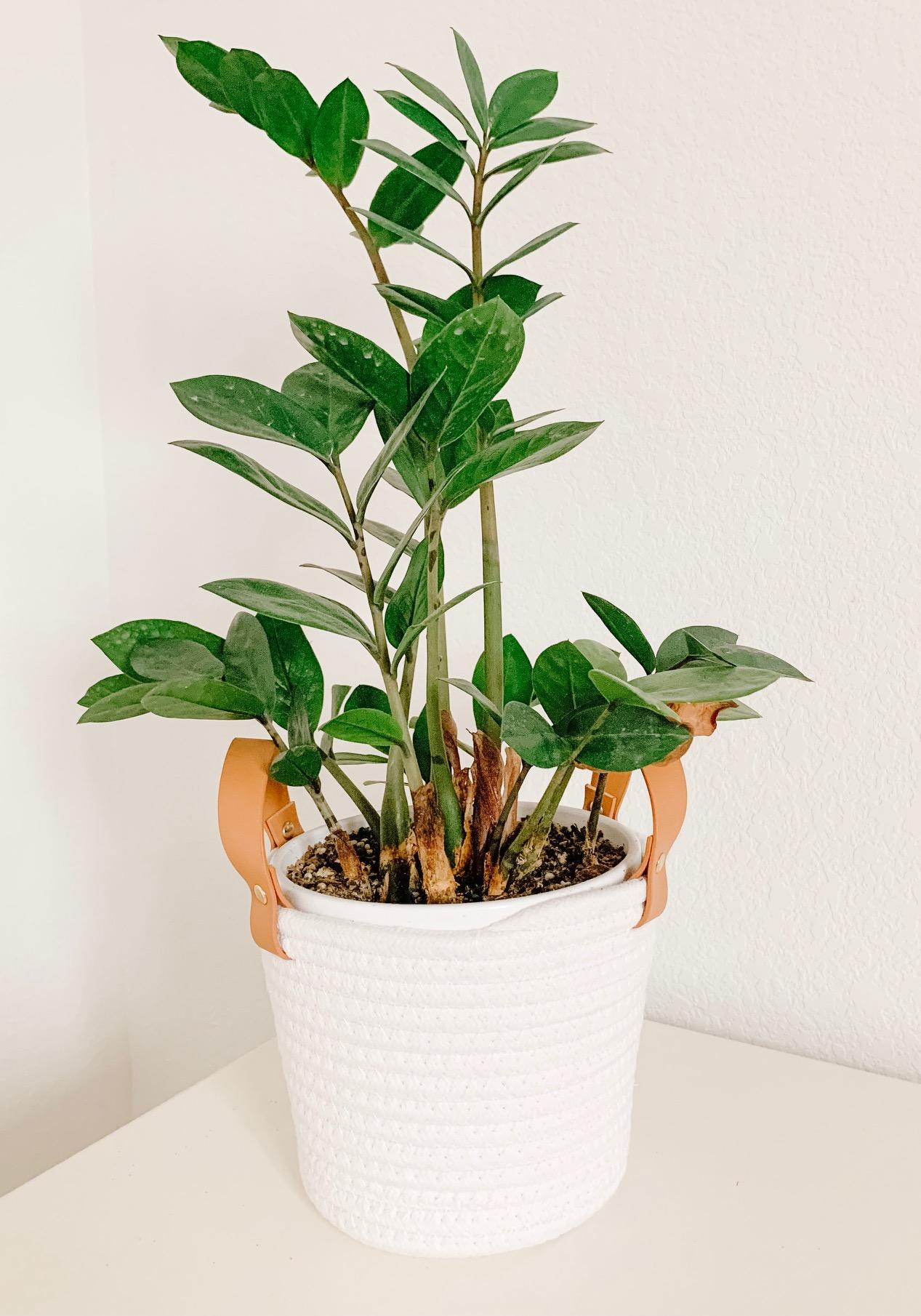 zz plant in a woven basket