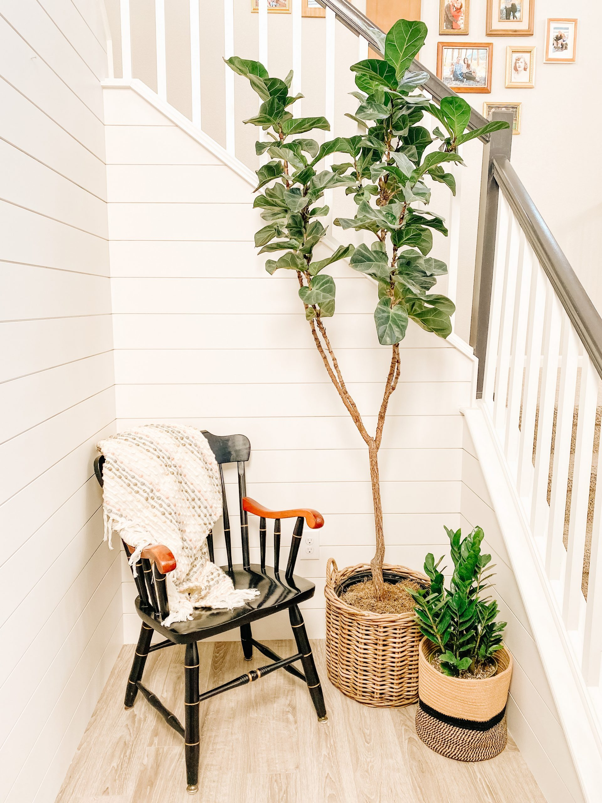 Shiplap wall with fiddle leaf fig tree black windsor chair and throw