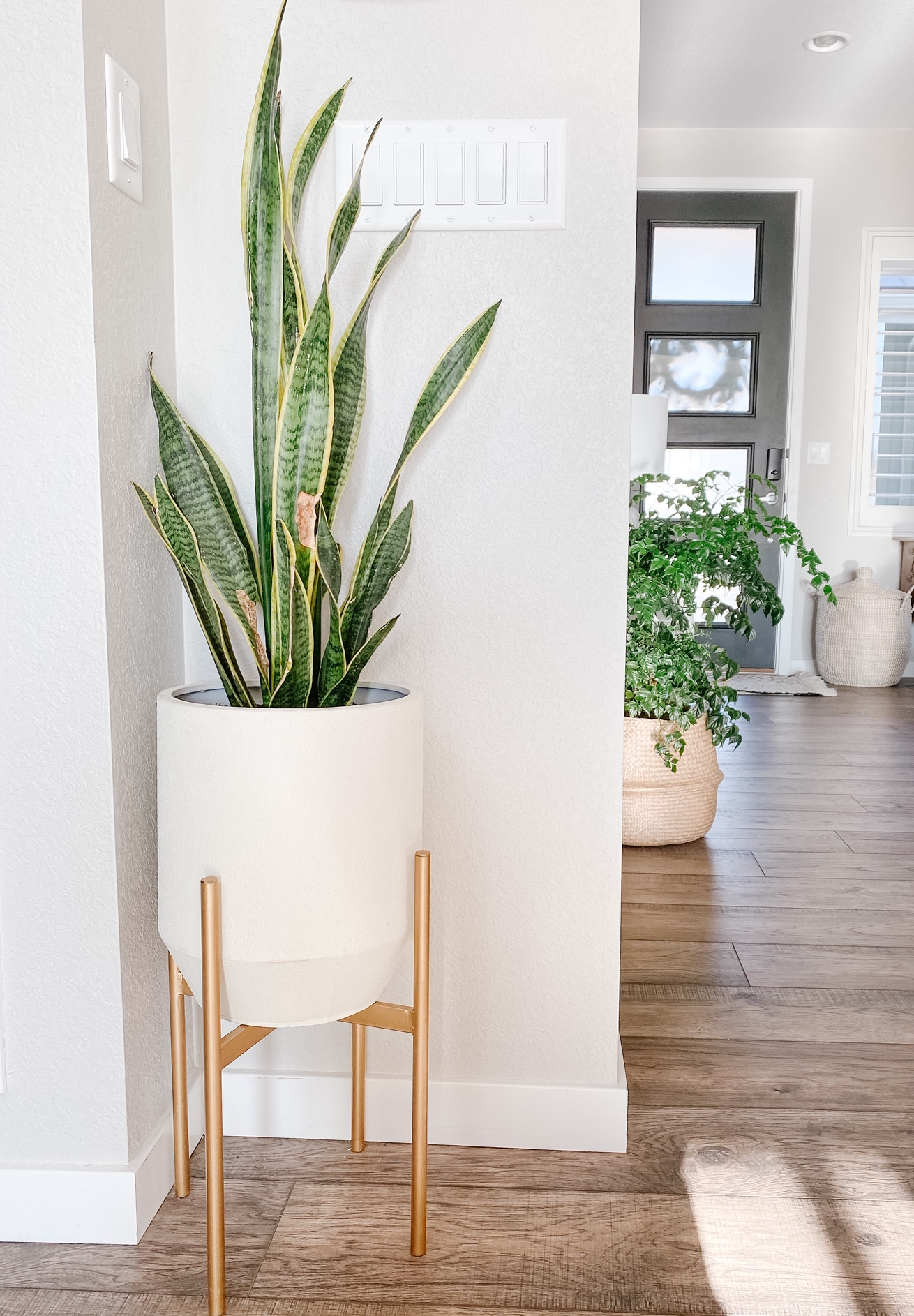 snake plant in a plater